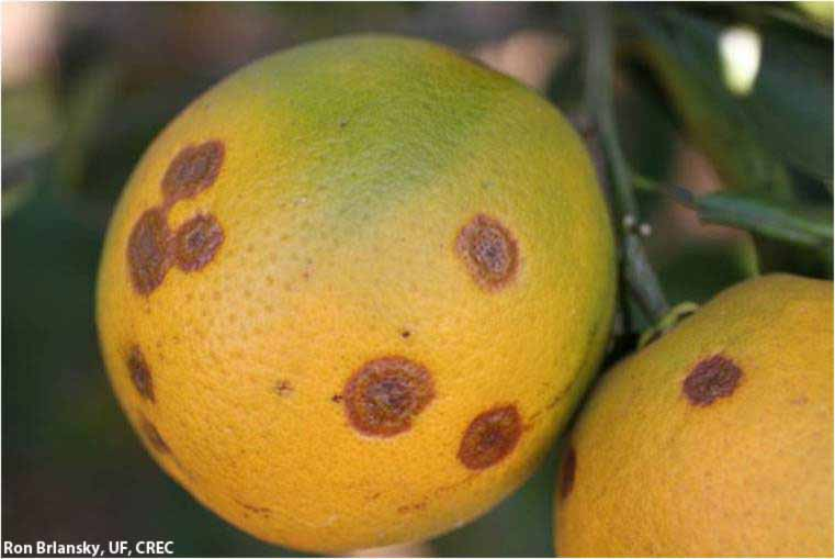 Diseases detection in citrus fruits using convolutional neural networks