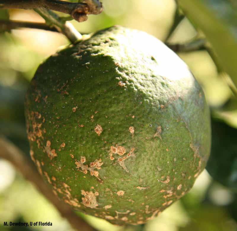 citrus diseases Descriptions, photos and inspection tips to protect california citrus trees from the asian citrus psyllid and the plant disease it can spread, called huanglongbing or.
